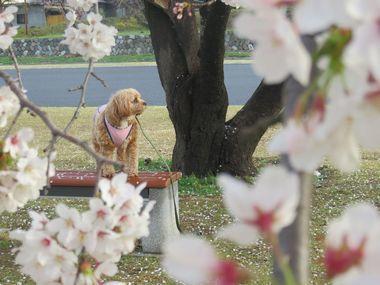 IMG_8773桜めぐり