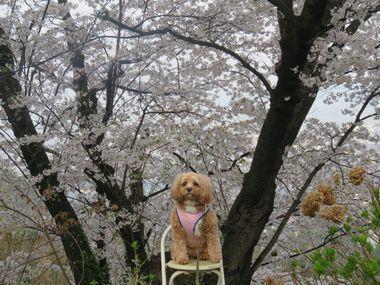 IMG_8780桜めぐり