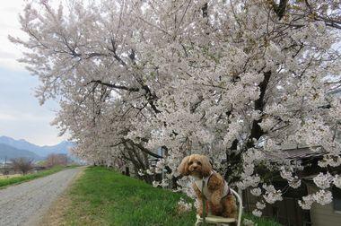 IMG_8849堤防桜