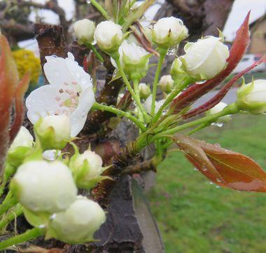 IMG_8872梨の花