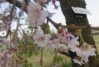 IMG_8899兼六園四季桜