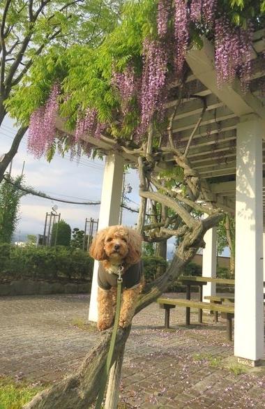 IMG_9610藤の花