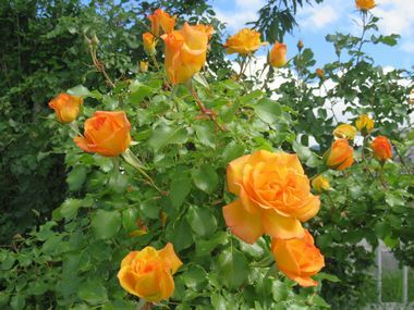 IMG_0262薔薇
