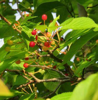 IMG_0517桜の実2