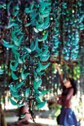 1672fc8636384a1506ab7dfc03f6bc4a輝く青緑の花「ヒスイカズラ」