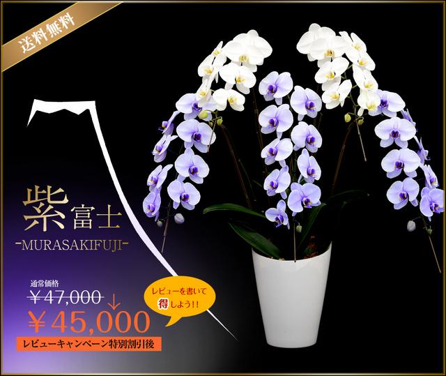 紫富士 富士山 胡蝶蘭 配送 青 お祝 紫