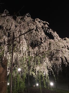 桜 満開 花見 枝垂れ桜 豊川 御津 花屋 花夢
