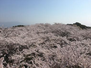 桜 満開 花見 御津山 豊川 御津 花屋 花夢
