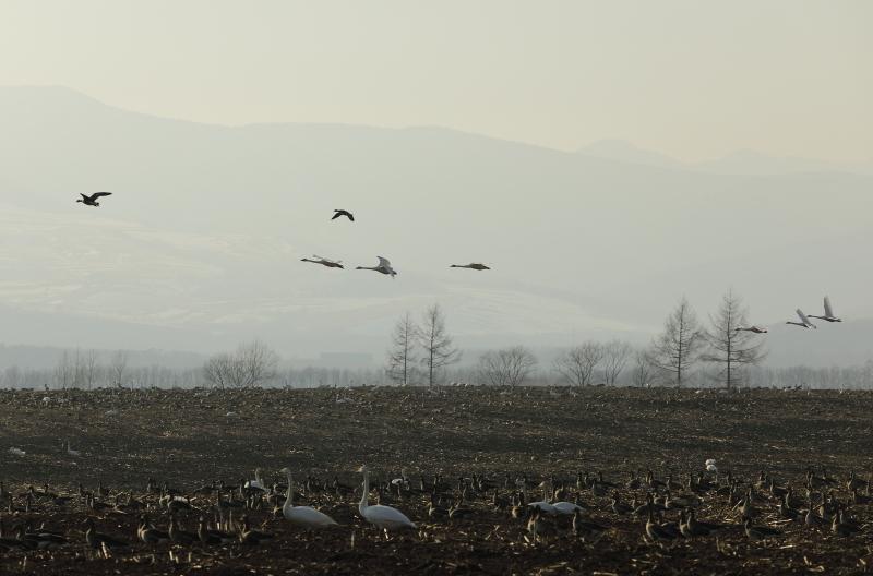白鳥 24890001