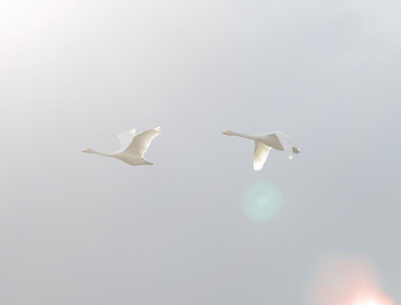白鳥  29450001