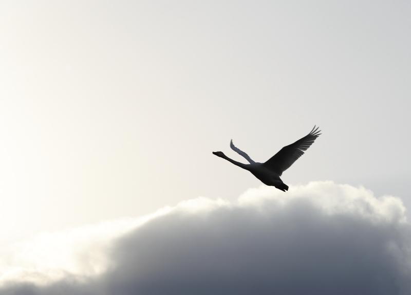 白鳥  29930001