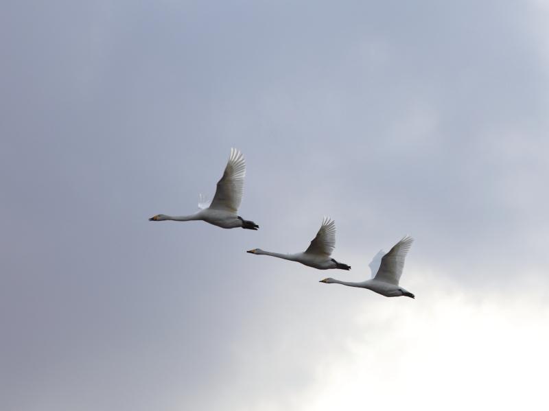 白鳥  30350001