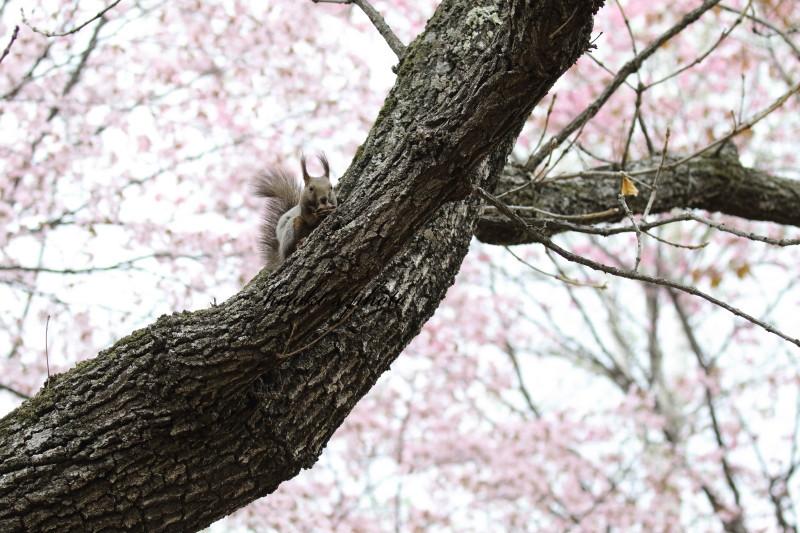 桜と蘭ちゃん 57130001署名入りedited