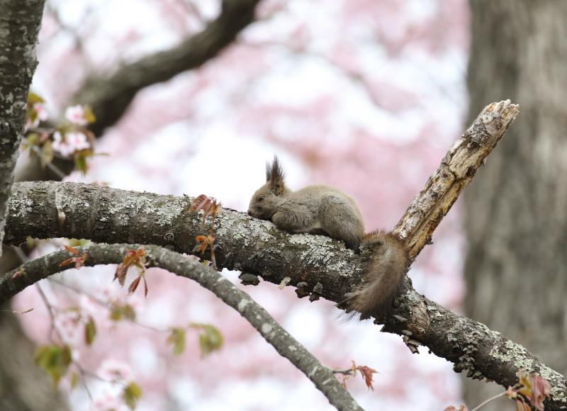 桜と蘭ちゃん 61580001署名入りedited