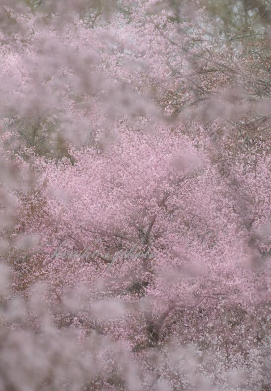 満開の桜 62270001署名入りedited