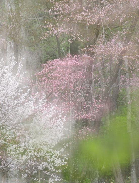 満開の桜 62360001署名入りedited