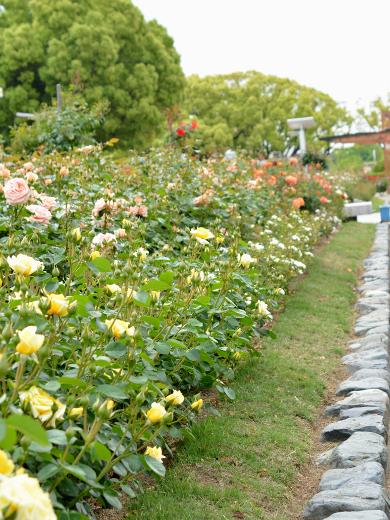 20180506_バラ公園のバラ13