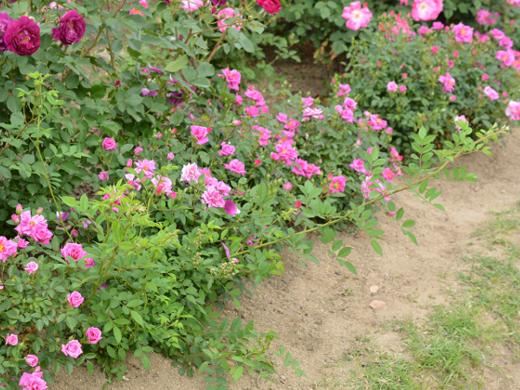 20180506_バラ公園のバラ10