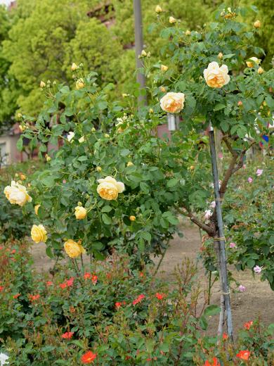 20180506_バラ公園のバラ2