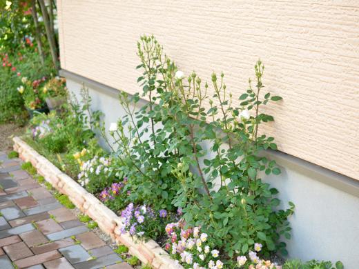 20180509_花壇のミニバラ(白色)1