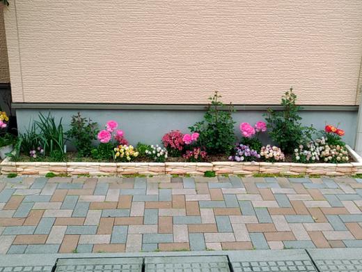 20180417_花壇のミニバラ(白色)1