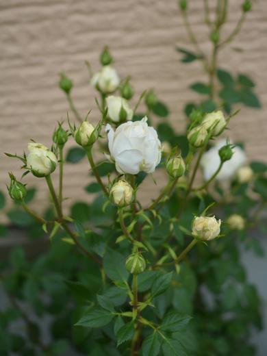 20180513_花壇のミニバラ(白色)1