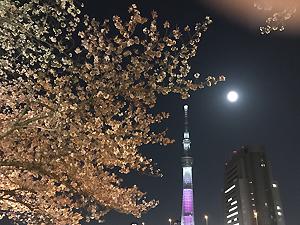 今さらの夜桜…