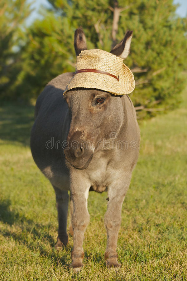 0427miniature-donkey-frontal-hat