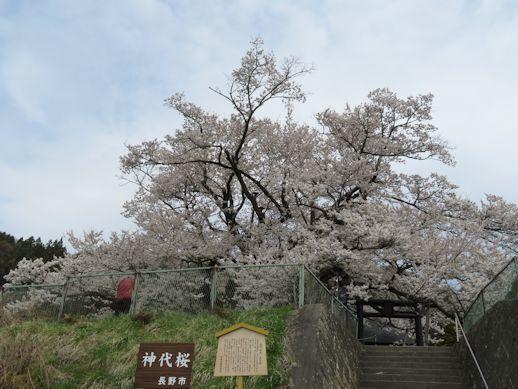 神代桜4月14日
