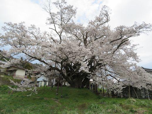 神代桜 満開