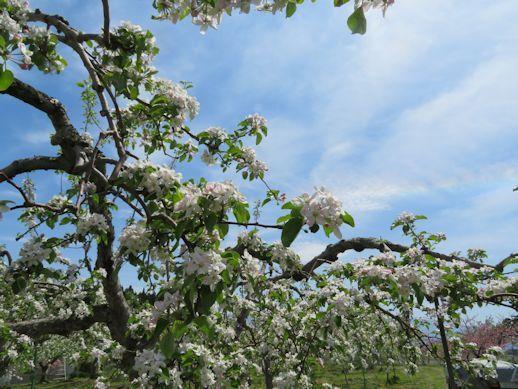 リンゴの花花