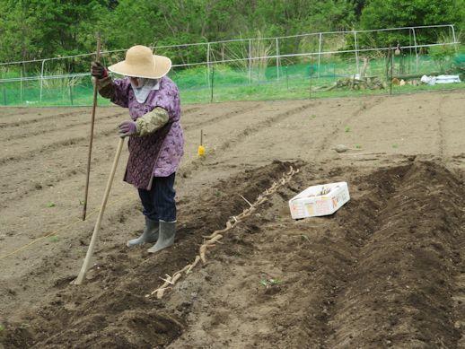 長芋の播種