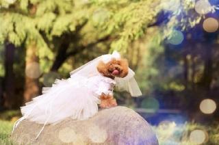 犬用ウェディングドレス_結婚式_通販