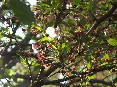4-7桜1h