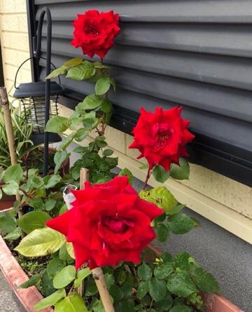 バラが咲きました。