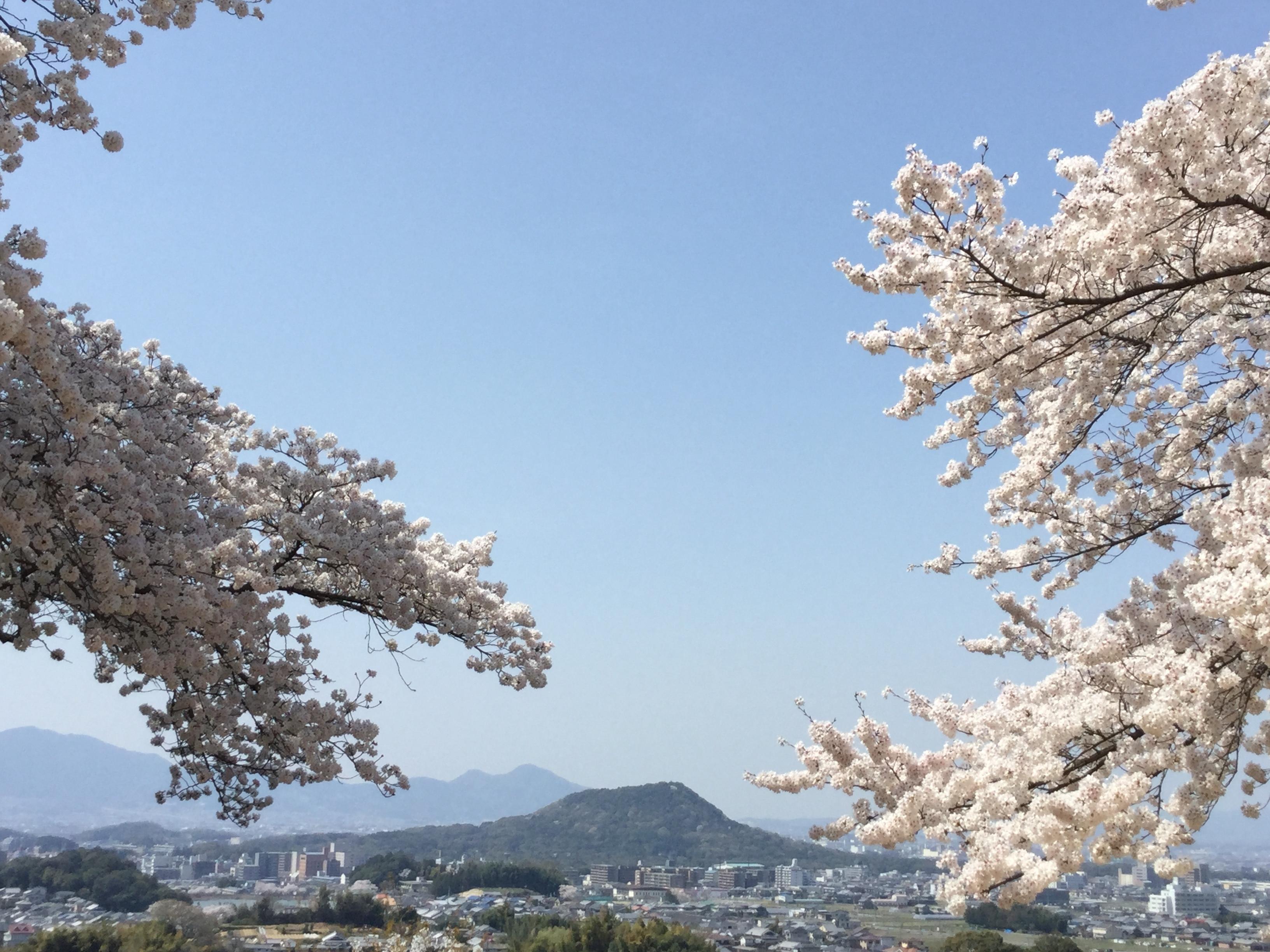 甘樫丘 春 2018 畝傍山 桜