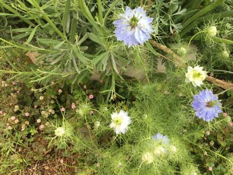 ニゲラ 自然に咲く