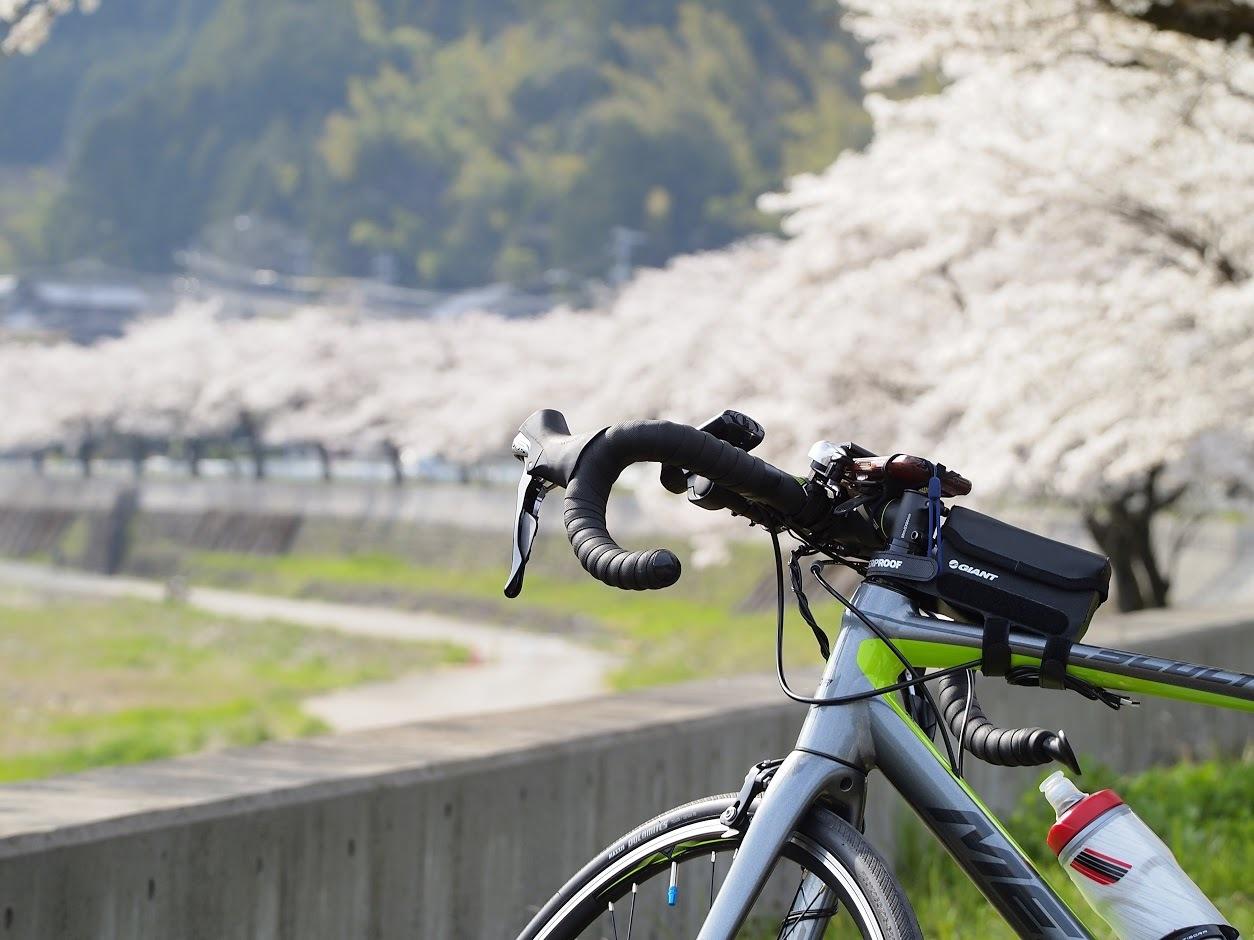 国道156号 深戸の桜並木