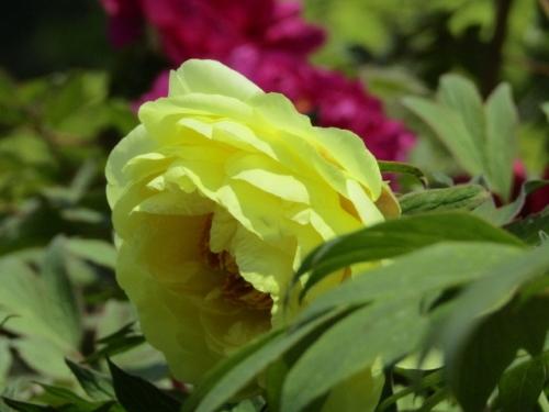 黄色の牡丹