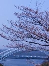 DSC_2548西海橋 桜