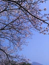 DSC_2553 長崎桜