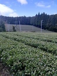 DSC_2533 東彼杵 茶畑