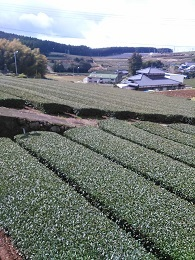 DSC_2531東彼杵茶畑