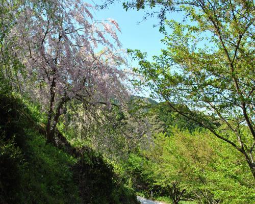 先週からの枝垂桜