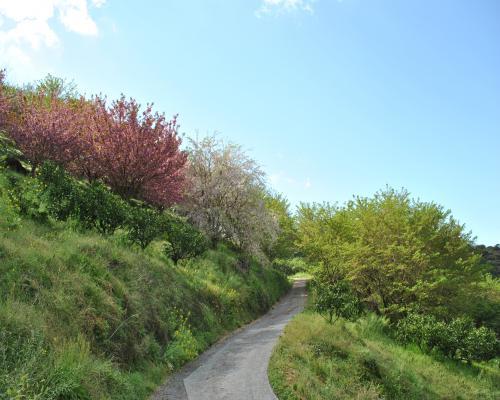 3種類の桜のコラボ