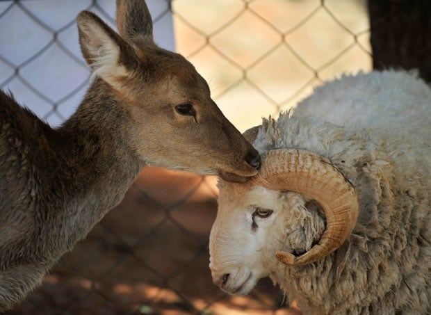 フリー写真 仲良しな羊としか