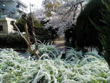 4-1 桜と雪柳