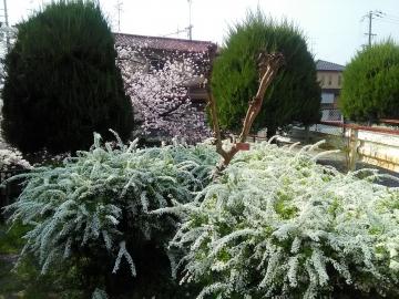 4-2 桜と雪柳