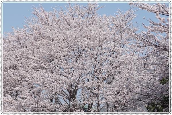 2018-4桜1