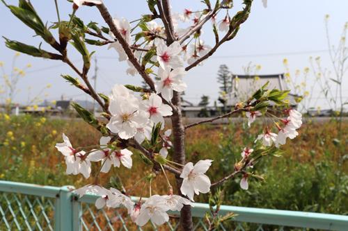 sakura orchid